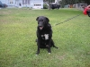 ditty-lab-collie-mix